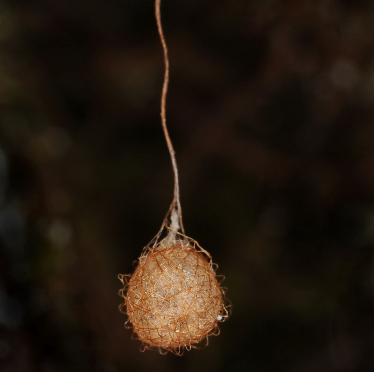 Characteristic eggsac of pirate spiders (Photo: C. Komposch)