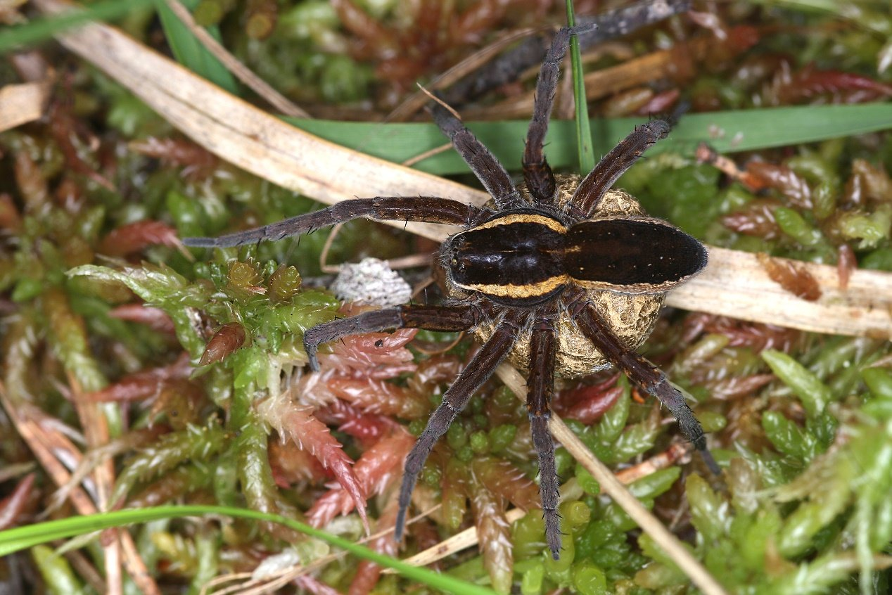 Dolomedes fimbriatus, female with egg-sac © Gernot Kunz