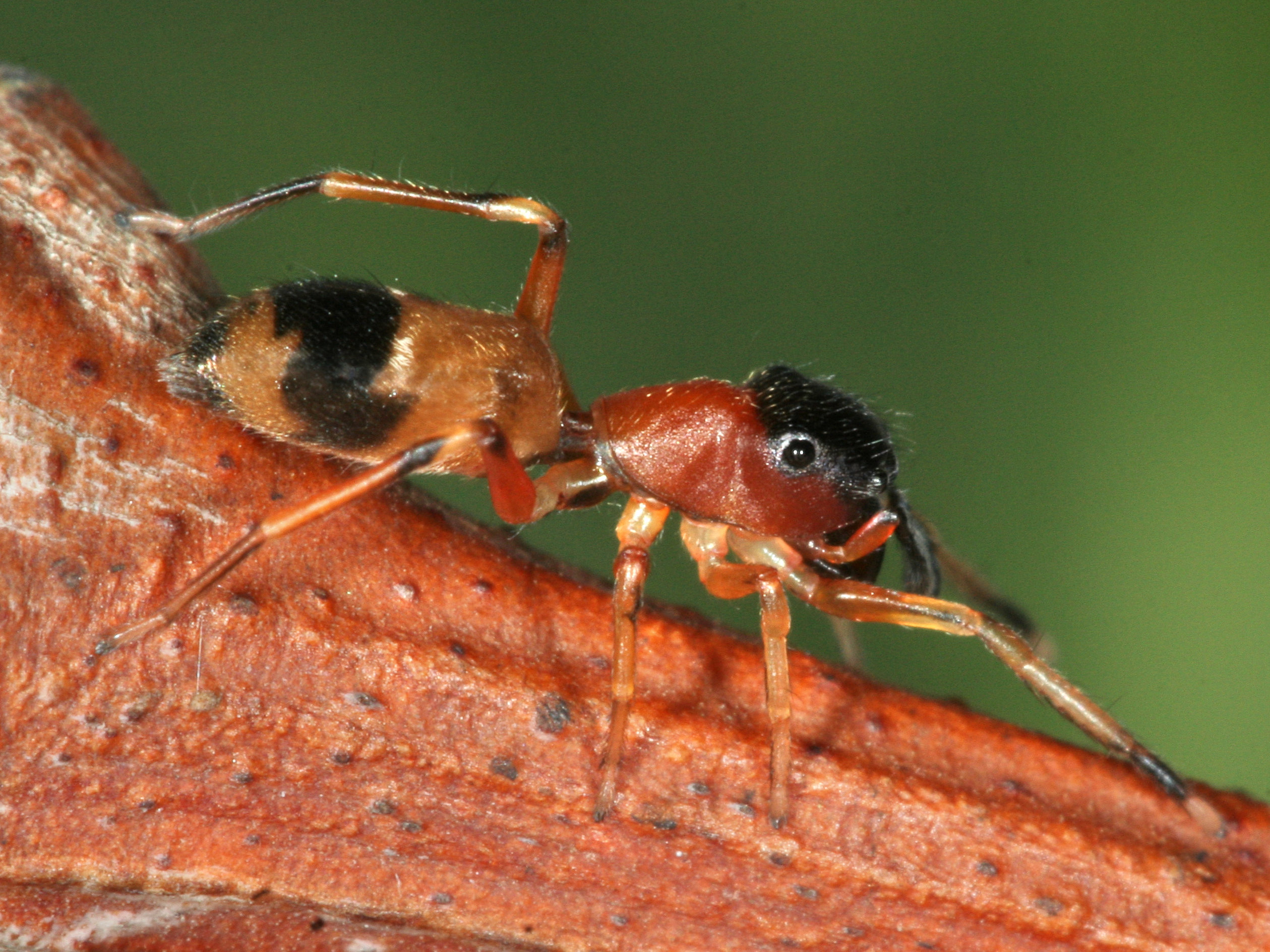 Female ant mimic jumping spider