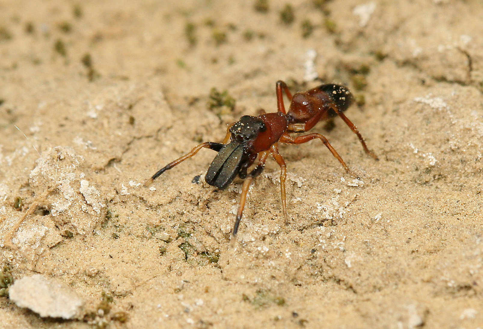 Male ant mimic jumping spider