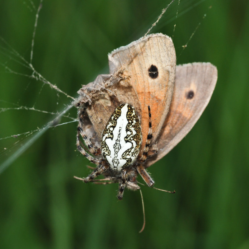 Oak spider with captured butterfly