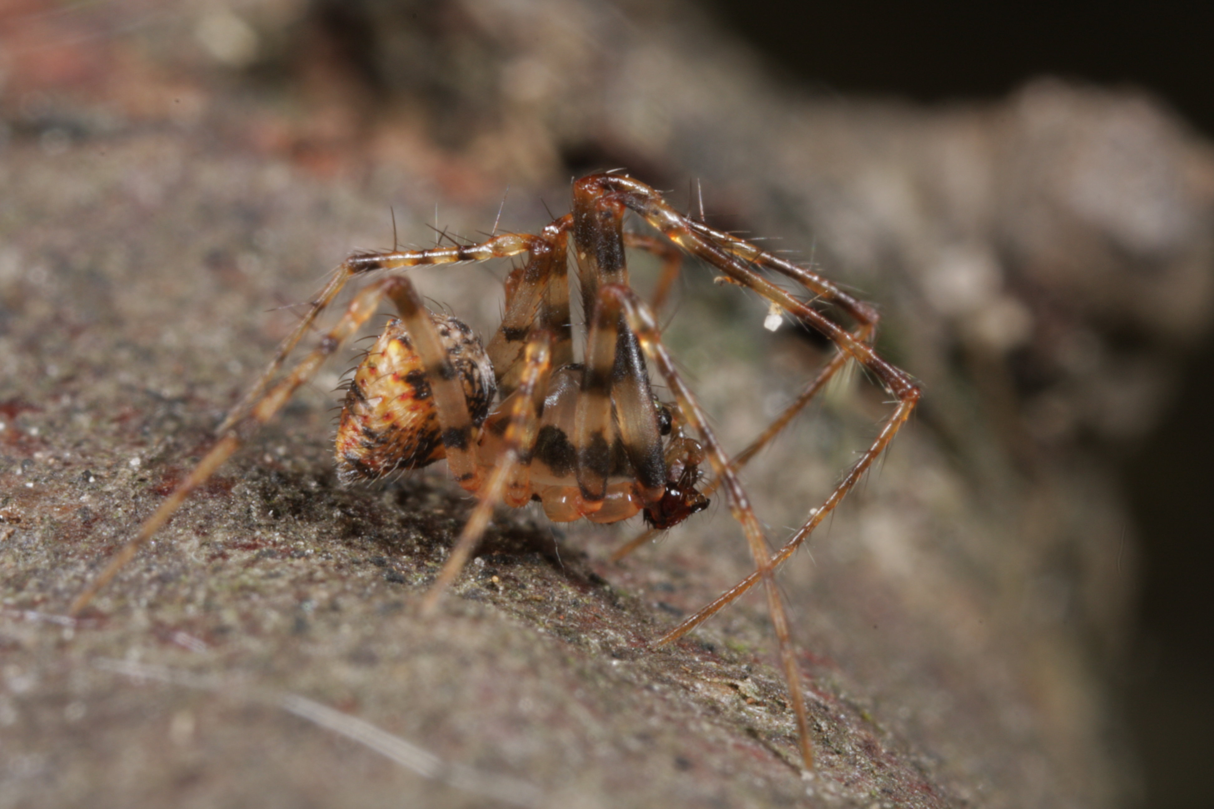 Male pirate spider in lateral view (Photo: G. Loos)